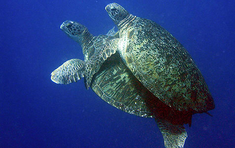 Kiribati Turtles.jpg