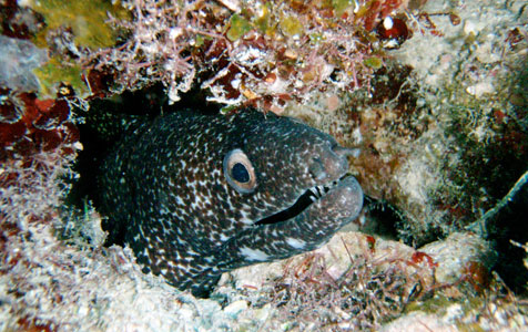Spotted-Moray-476px.jpg