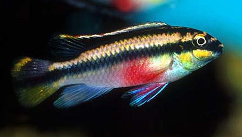 http://en.microcosmaquariumexplorer.com/w/images/f/ff/Pelvicachromis_pulcher.jpg