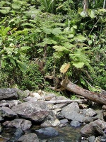 El Yunque rainforest stream.jpg